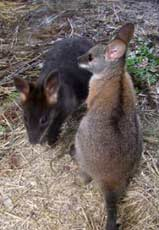 Black Striped Wallaby
