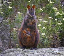 Brush Tailed Rock Wallaby